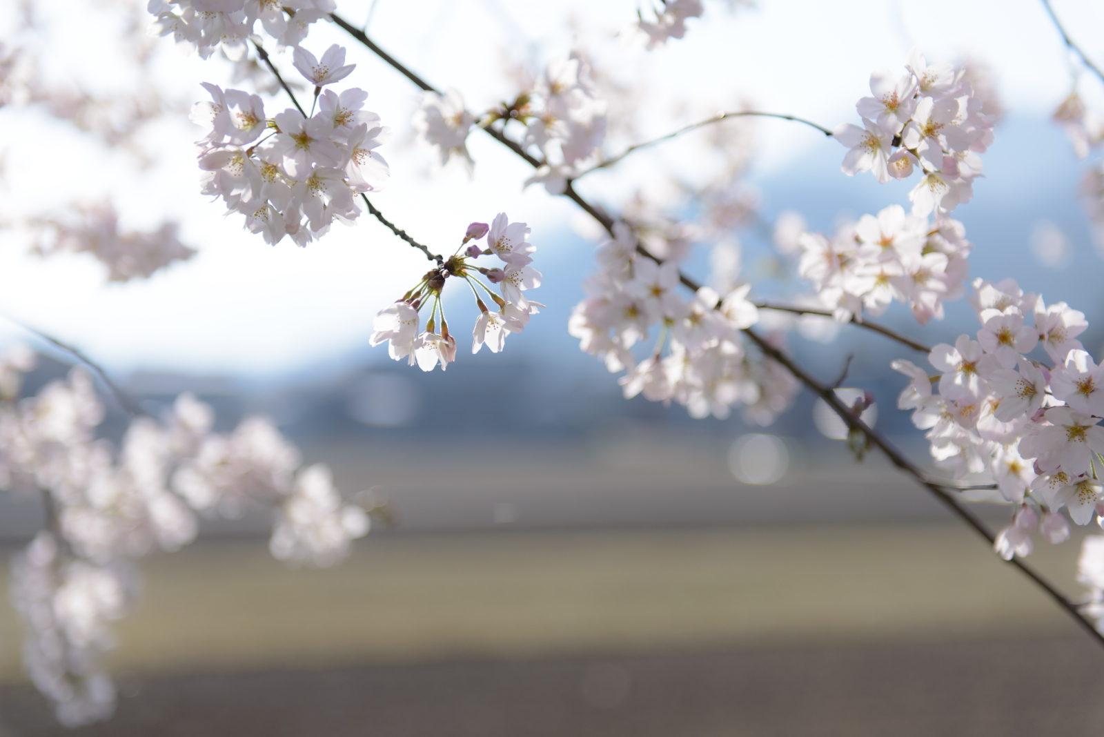 Sakura blossoms*